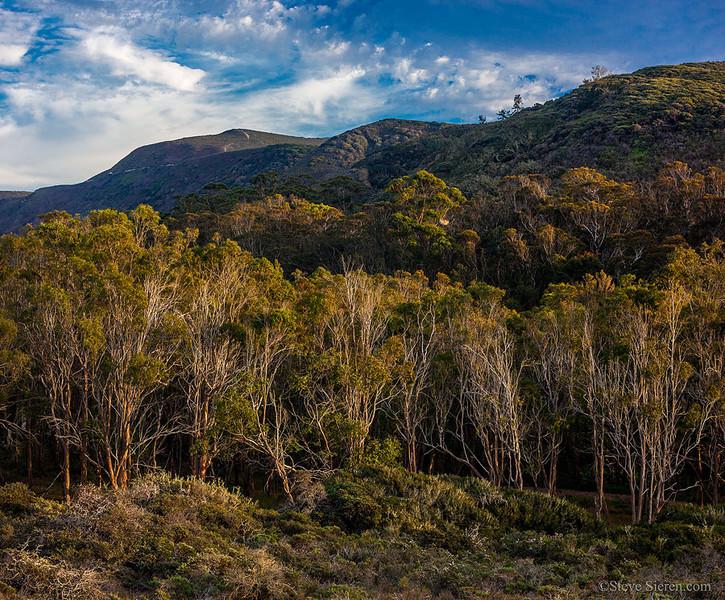 Irish Hills of California - Central Coast Eucalyptus Trees
