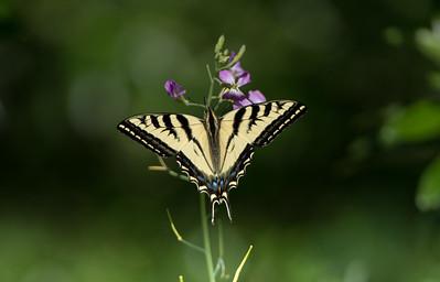 Tiger Swallowtail (<em>Papilio rutulus</em>)