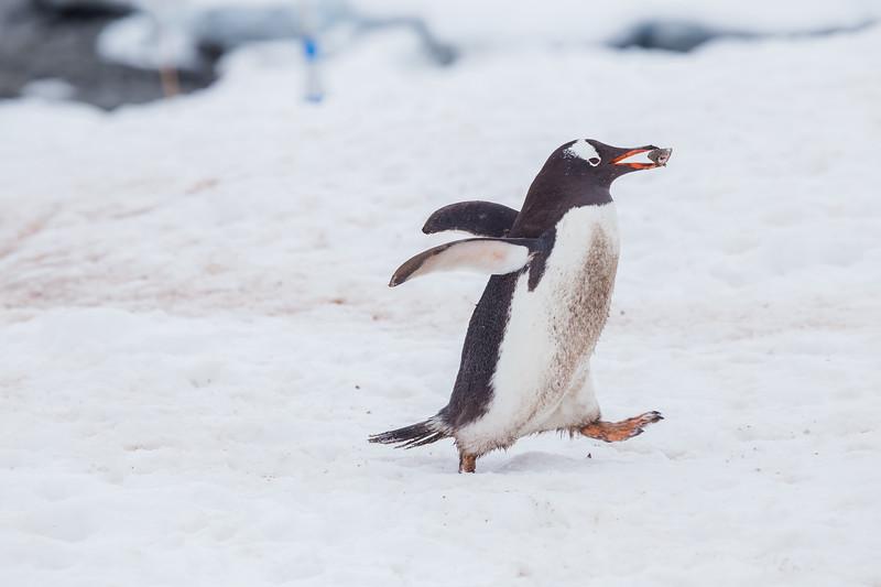Antarctica Facts - Gentoo Penguin