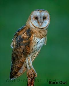 Barn Owl, Vancouver Lake WA, USA