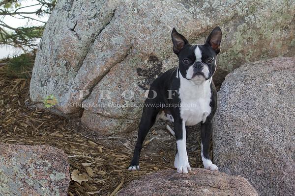 Boston Terrier_PAW