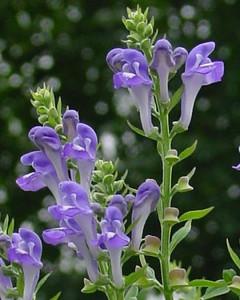 Scutellaria incana.jpg