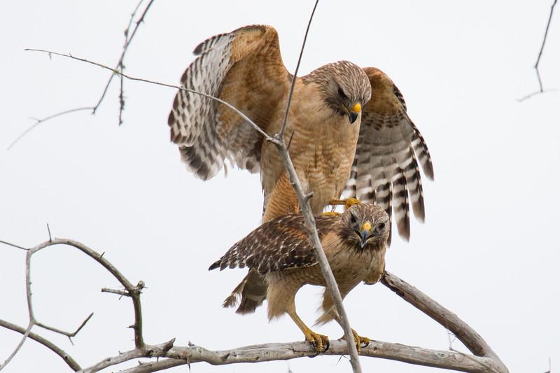 Hawks Okeefenokee Swamp 2020-1.jpg