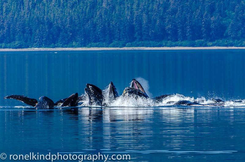 Humpback Whales bubble feeding.