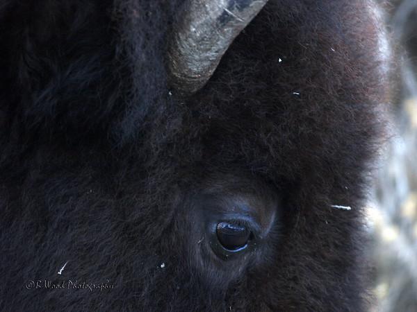 Bison - Winter