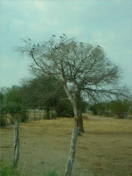 DSC03566-tree with birds-King Ranch Tour-Thanksgiving-Kingsville TX- Nov 2008.jpg
