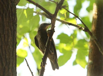 Lowell bird in tree 080219