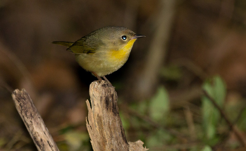 Female Common Yellowthroat.