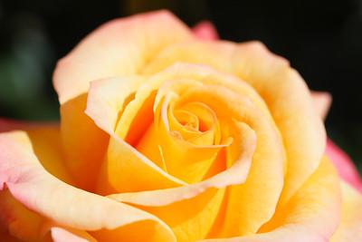 Roses - May 2021