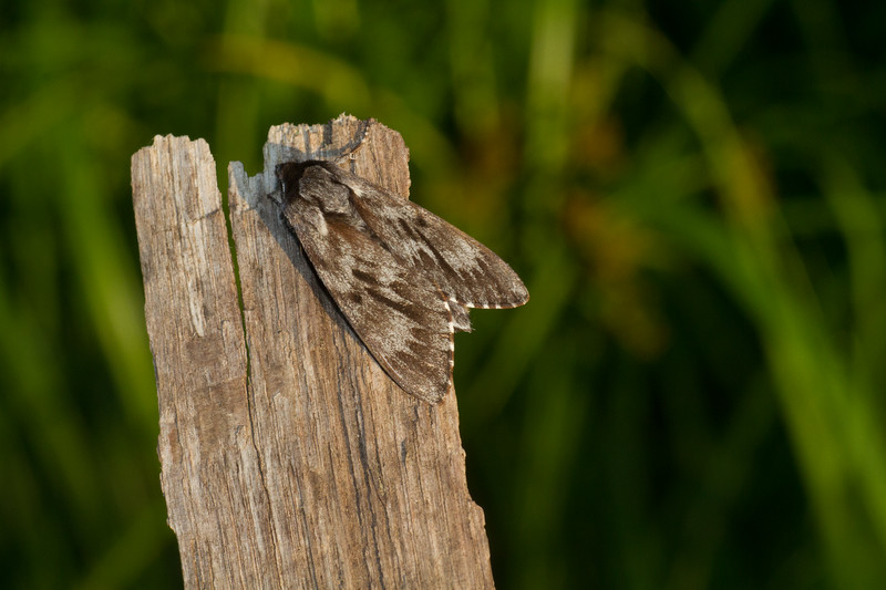 Lapara bombycoides Northern Pine Sphinx 7817 Family Sphingidae Skogstjarna Carlton County MN  IMG_0394.jpg