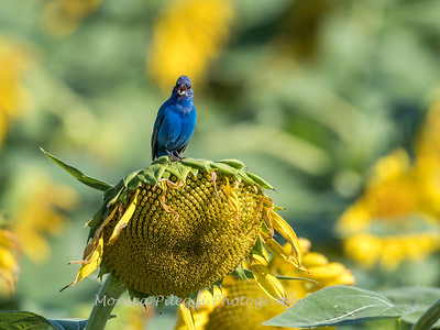 Sunflowers & Indigo Buntings 2018