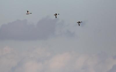 vogels biesbosch 2019