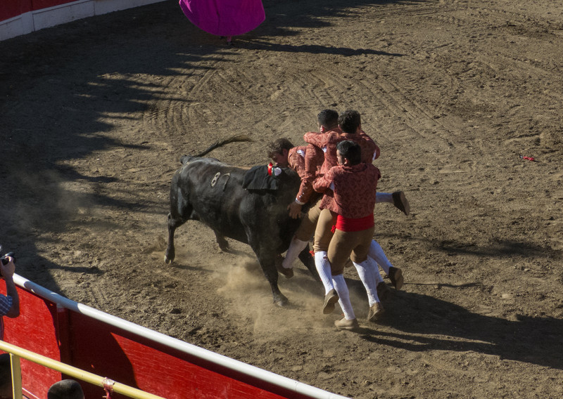"""High speed still sequence: (Next 5 photos) The Forcados go for a FOURTH try of """"pega de cara"""" with the same bull."""