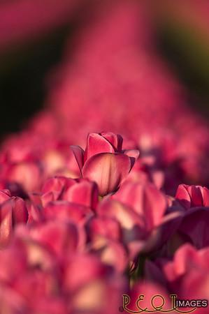 Skagit tulips 2009