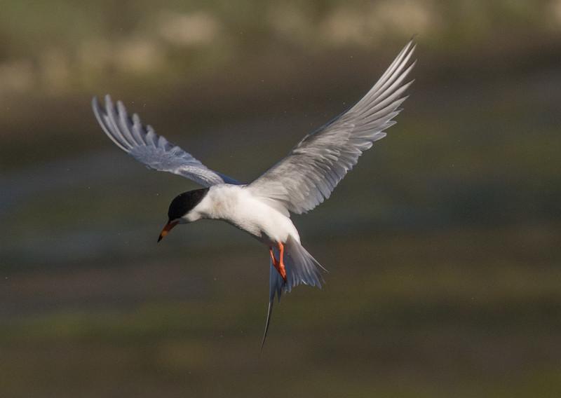 Forster`s Tern San Elijo Lagoon  2020 06 09-5.CR2
