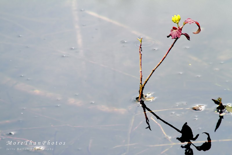 Life persists 2013-05-28  The Danube Wetlands usually are flooded in the spring.  Here one plant blossoms in a 'dead arm' of the Danube.  Only officially created as a national park in 1996, it stretches between Vienna and Bratislava and has over 130 kinds of animals, countless protected plants, and abundant insect life.
