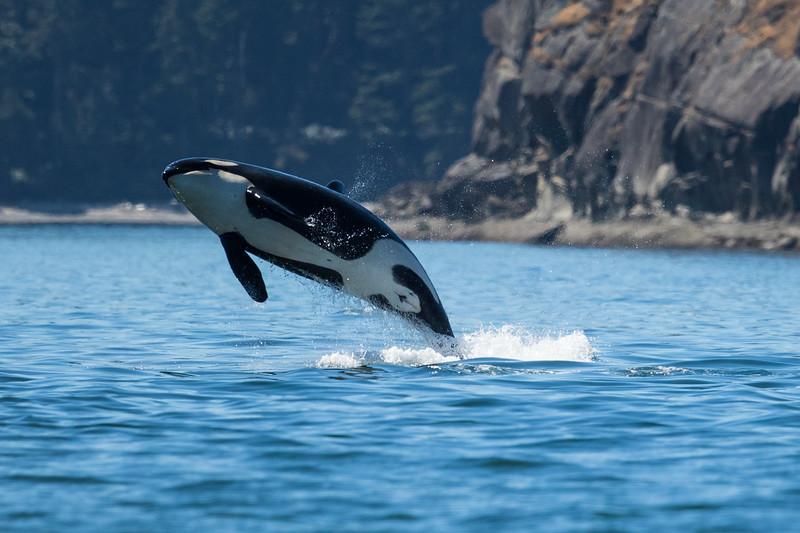 Orcas -  073115-159-Edit.jpg