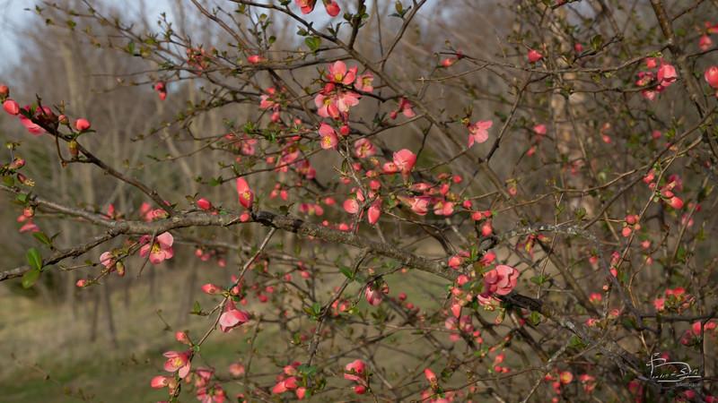 Flowering Quince?