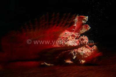 Lembeh Strait - Muck Diving Paradise 印尼 藍碧 - 微距天堂