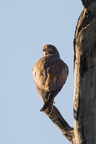 White-eyed Buzzard - Pench National Park, Madhya Pradesh, India