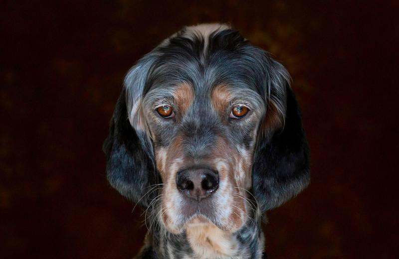 English-Setter-Dog-Breeder-Website.jpeg