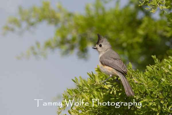 Titmouse, Black-Crested