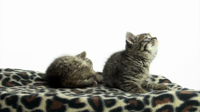 Kittens_tabby_013.mov