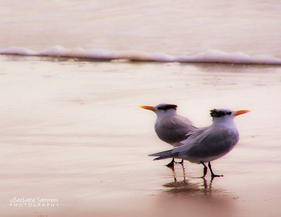 Royal Terns - Yaupon Beach - Oak Island, NC