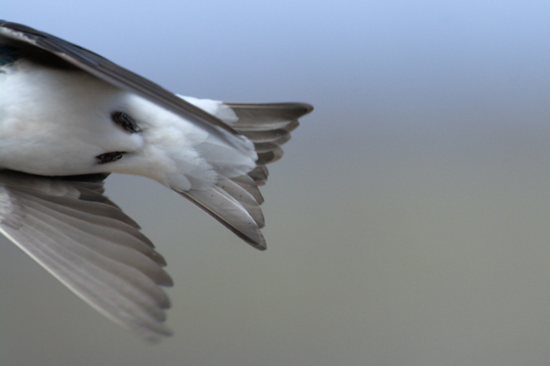 It is really hard to take photos of flying swallows with a long lens