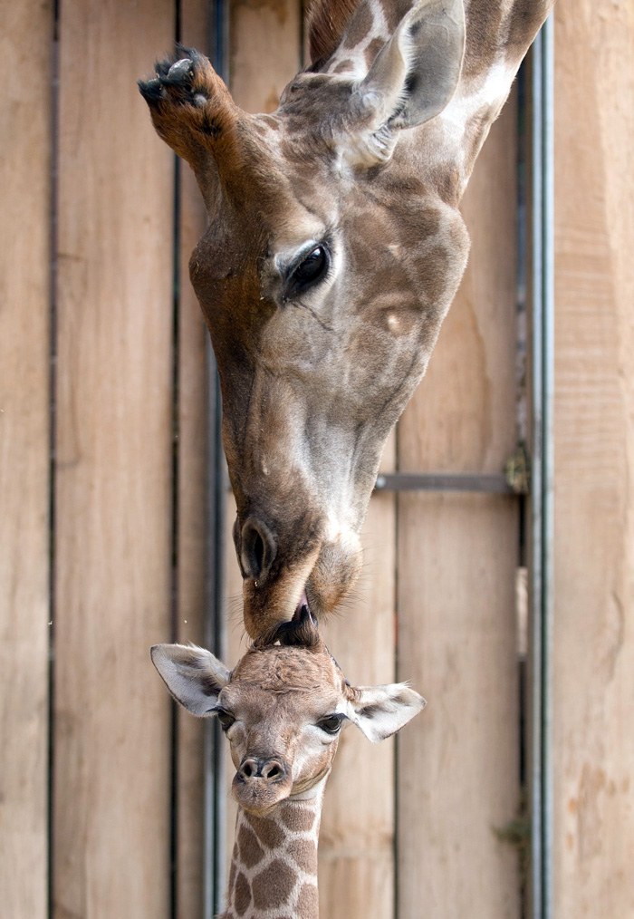 . A baby giraffe with its mother, Gambela, at  the zoo in Dortmund, western Germany,  March 2013.  AFP PHOTO / BERND THISSEN