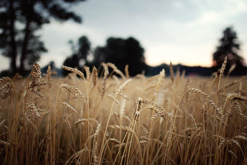 wheat LRG.jpg