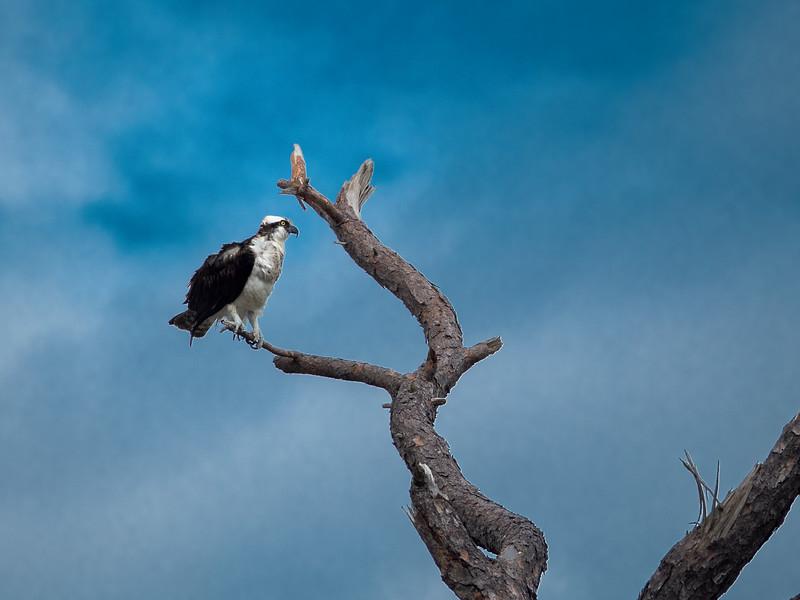 Osprey on a Branch