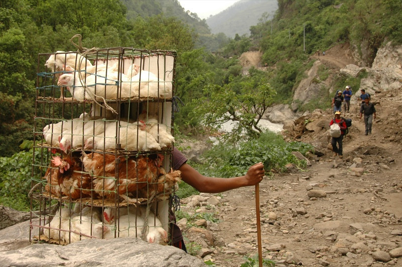 Chickens Up the Mountain - Annapurna Circuit, Nepal