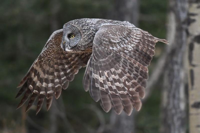 #1320 Great Gray Owl