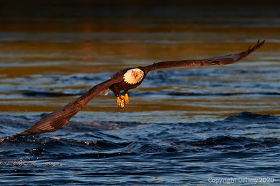 Bald Eagles of Stuart Island Photos