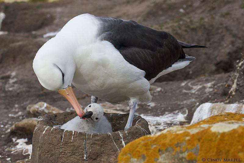 Black-browed_Albatross_18.jpg