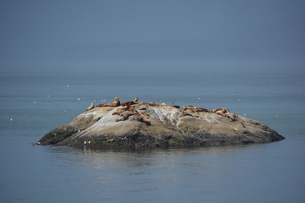 Steller Sea Lions at South Marble Island