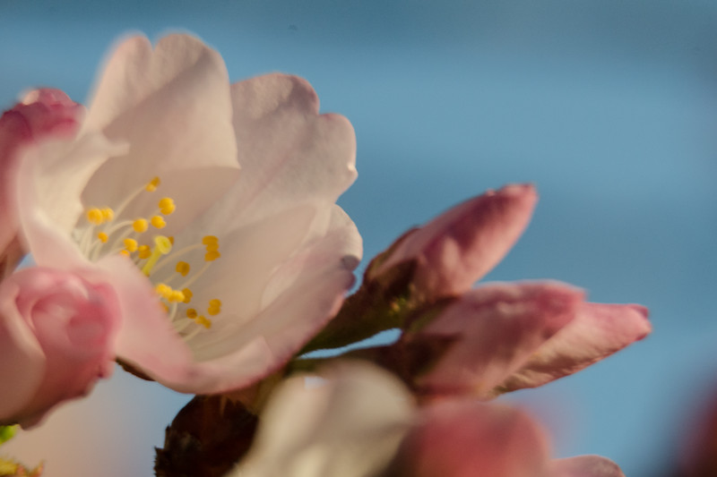 Cherry Blossoms at Sunrise-66.jpg