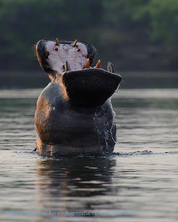 Nijlpaard; Hippopotamus amphibius; Seekoei; Hippopotamus; L'hippopotame