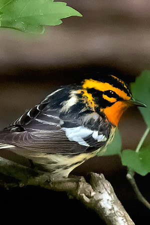 Blackburnian Warblers