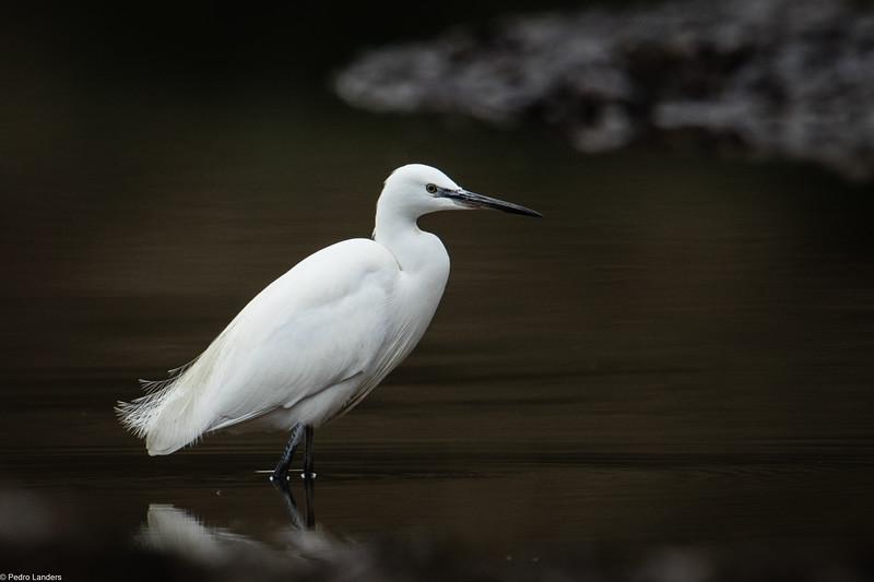 Little Egret