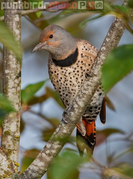 Northern Flicker female (Colaptes auratus)