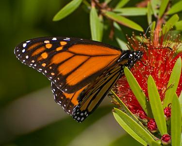 _DSC6801_monarch