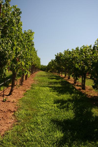 rows of vines.jpg