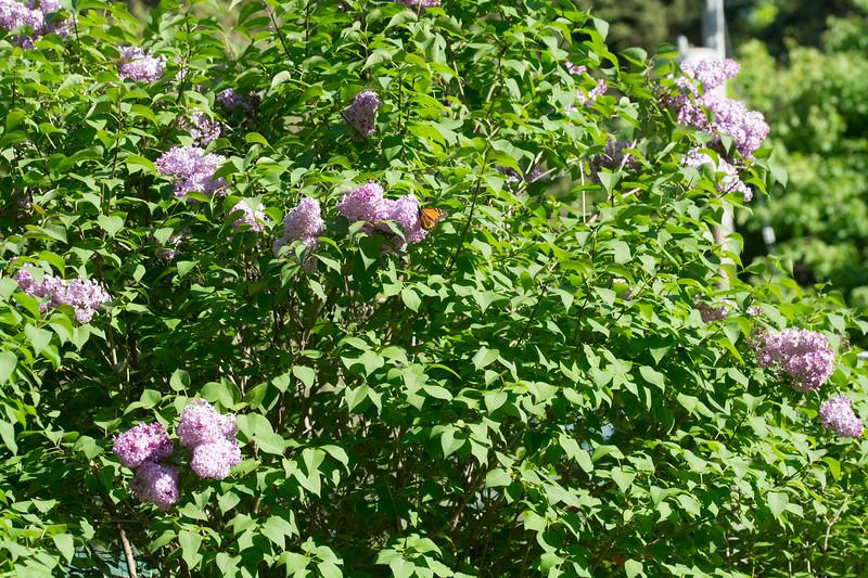 monarch on lilacs-6650.jpg