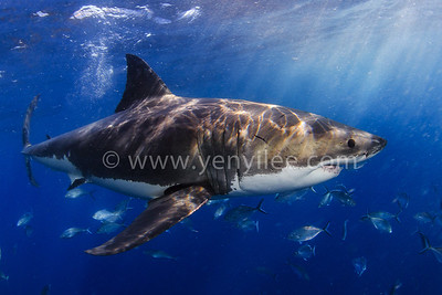 South Australia - A Great White Shark Expedition 南澳洲 - 與大白鯊面對面