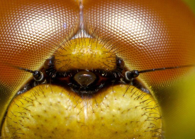 dragonfrontalcrop.jpg