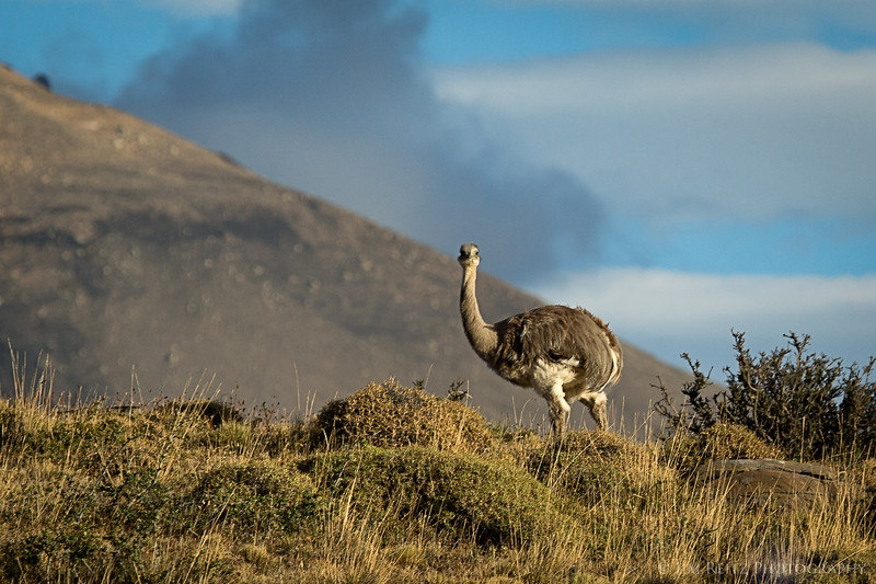 Patagonia has its own large, flightless bird - the Rhea. A bit smaller than an ostrich, but still quite impressive.