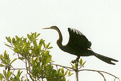 African Darter or Anhinga