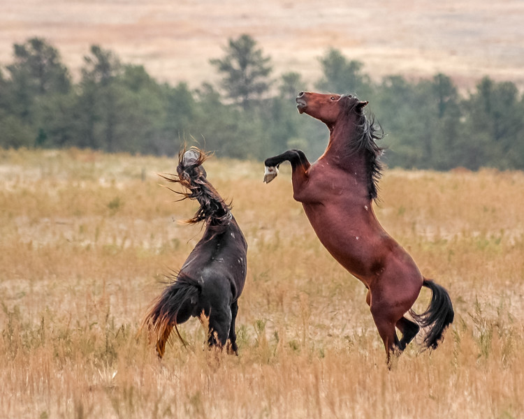 Wild Horses Fighting  #4